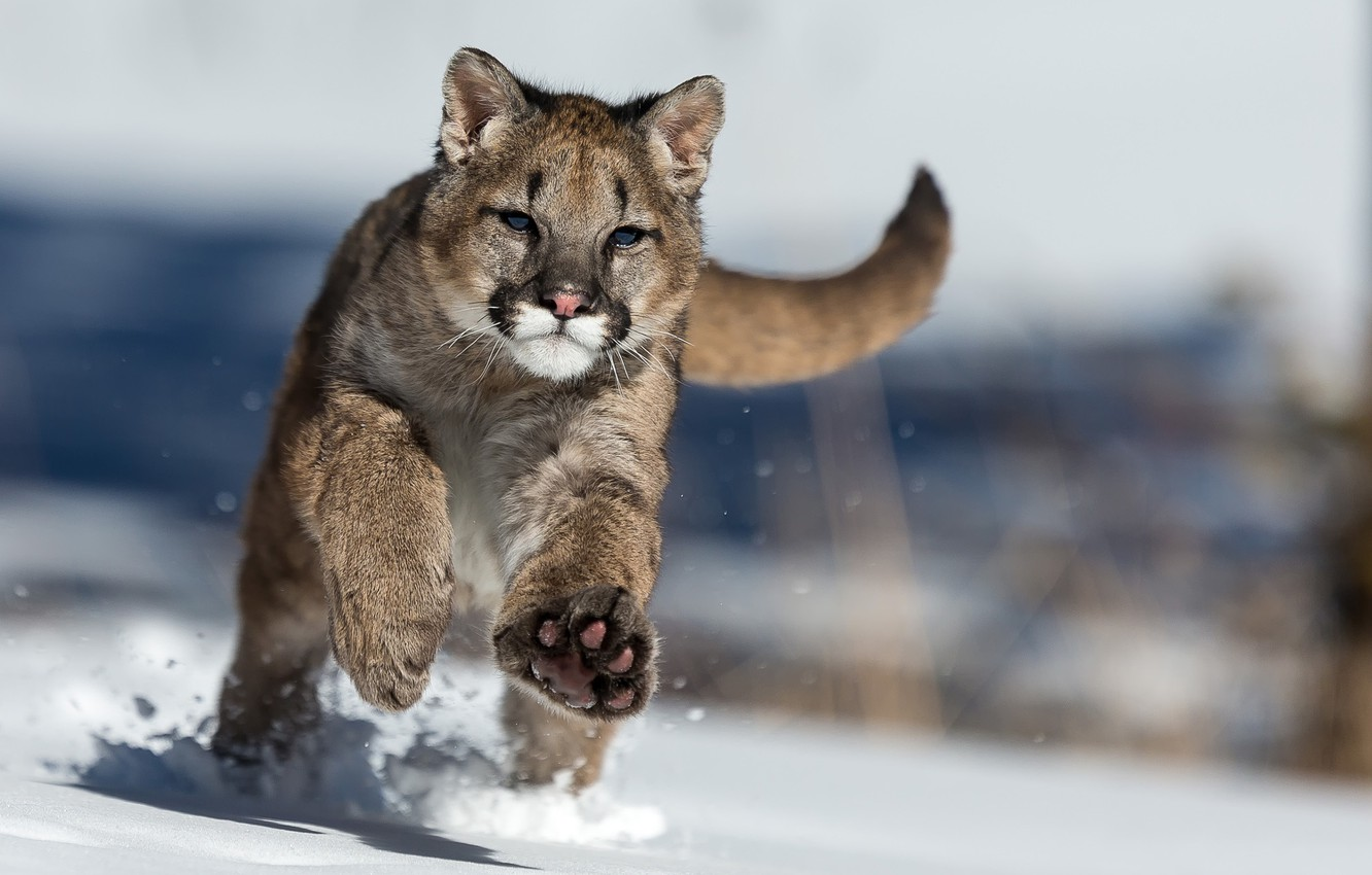 Photo Wallpaper Winter, Snow, Puma - Cougar In The Snow , HD Wallpaper & Backgrounds