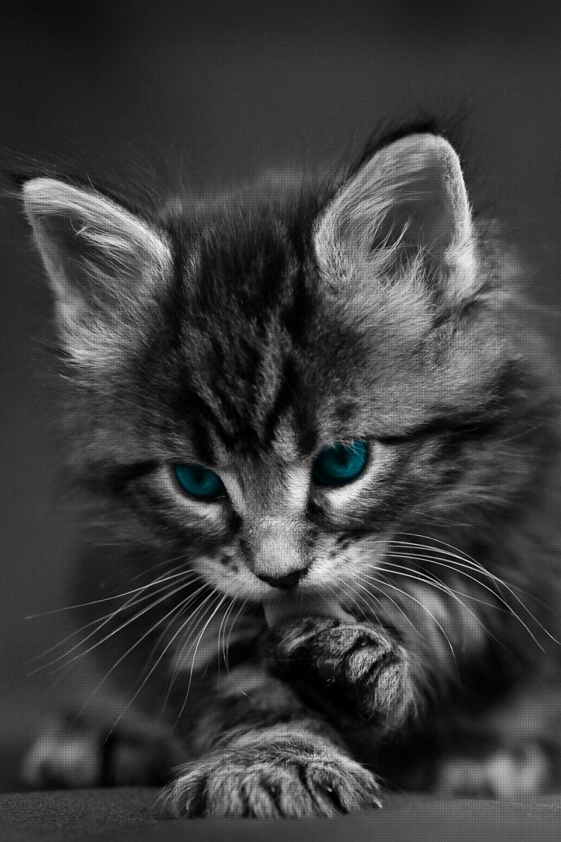 Wallpaper Cat Black White Blue Eyes Baby Beautiful Cute Cat Black And White 2615603 Hd Wallpaper Backgrounds Download