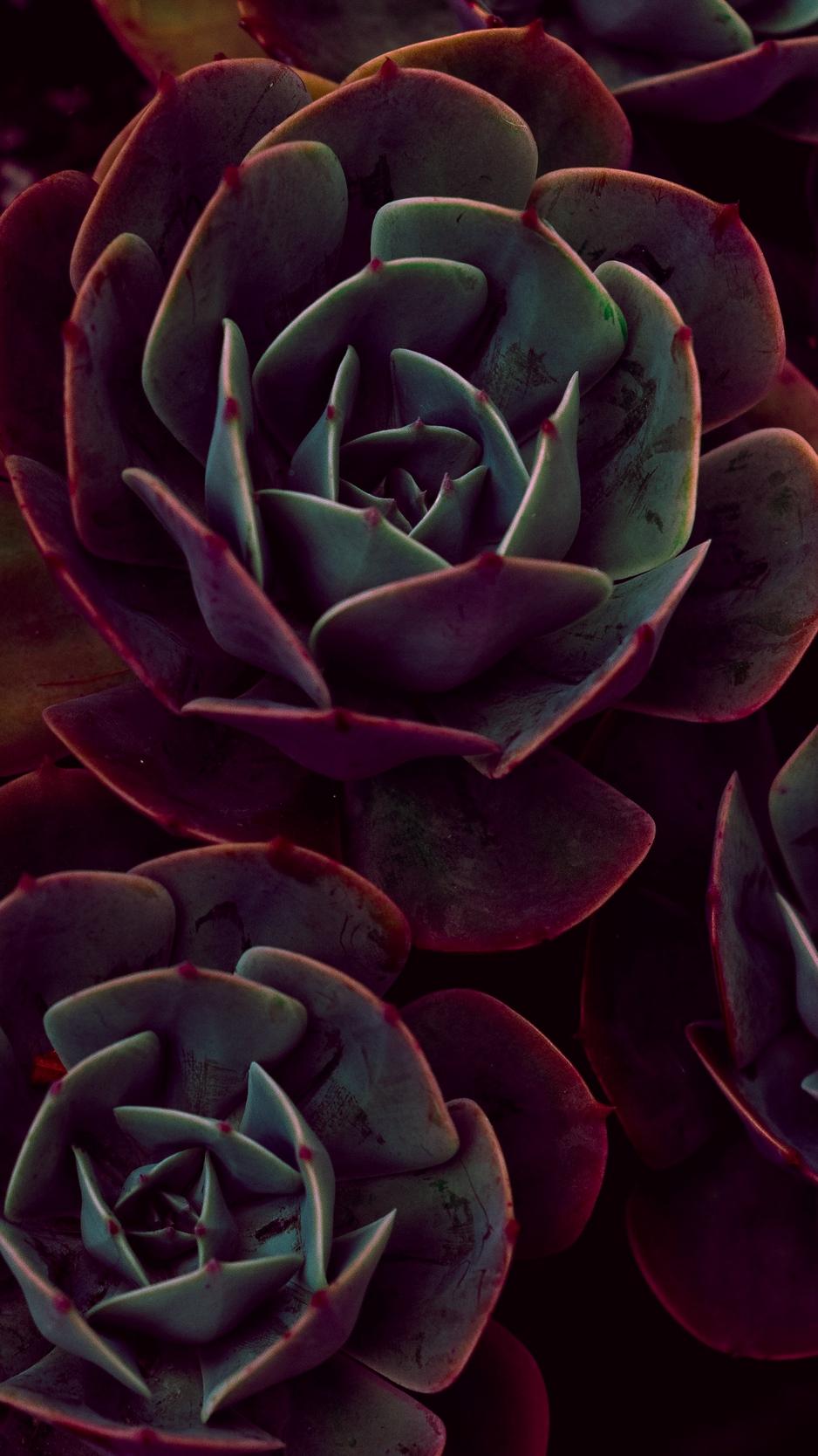 Wallpaper Echeveria, Succulents, Houseplant, Leaves - Dark Iphone X Wallpaper Succulent , HD Wallpaper & Backgrounds