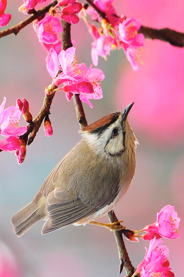Bird Iphone Wallpaper Spring Wallpapers For Iphone 287328