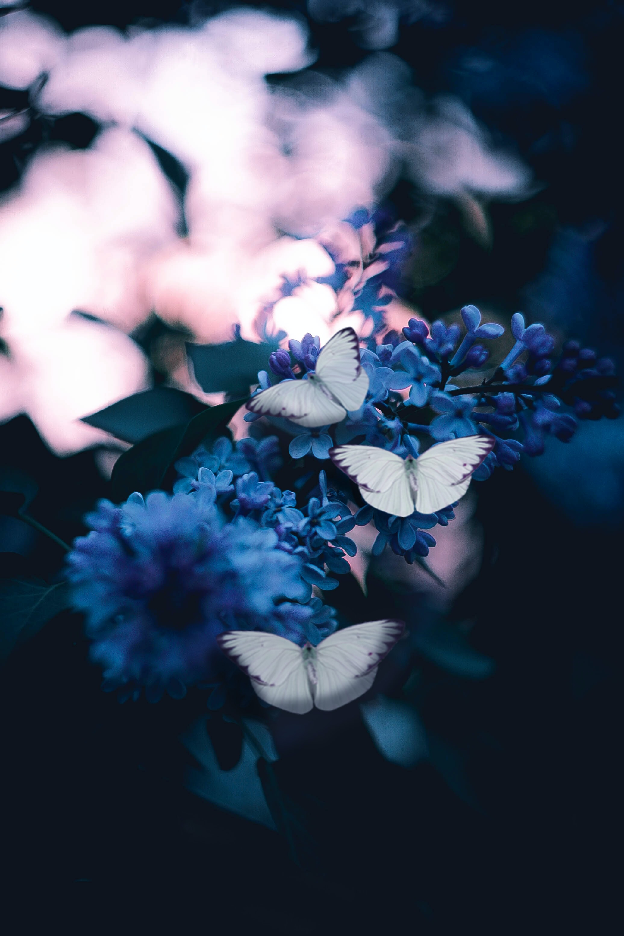 Whatsapp Dp Flowers With Butterfly , HD Wallpaper & Backgrounds