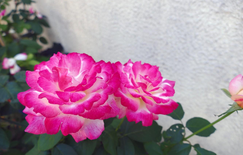 Photo Wallpaper Flower, Leaves, Nature, Pink, Rose - Garden Roses , HD Wallpaper & Backgrounds