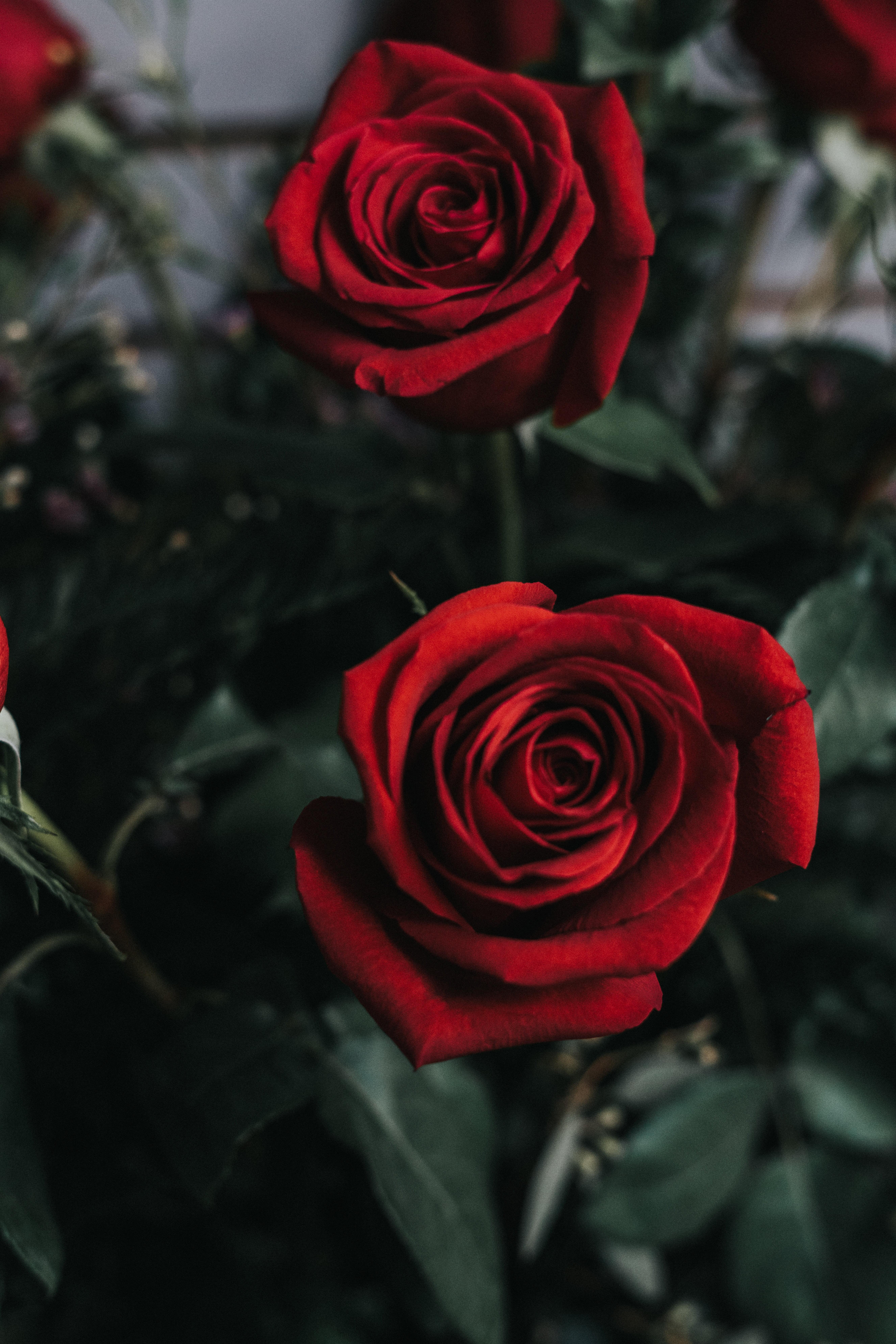 Red Flower Wallpaper - Rose Flower , HD Wallpaper & Backgrounds