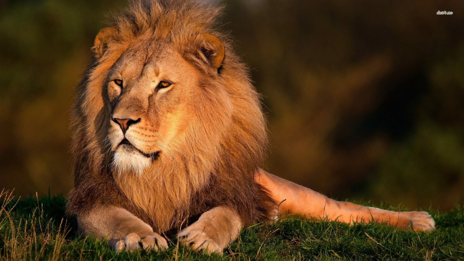 Lions Wallpapers Lion Hd Wallpapers Lion Attack Hd - Desktop Wallpaper Lion Quotes , HD Wallpaper & Backgrounds