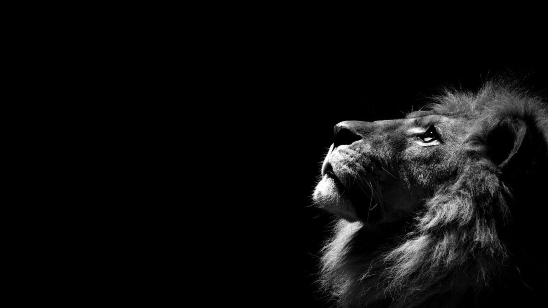 Lion Hd Wallpaper - Pc Wallpaper Lion , HD Wallpaper & Backgrounds