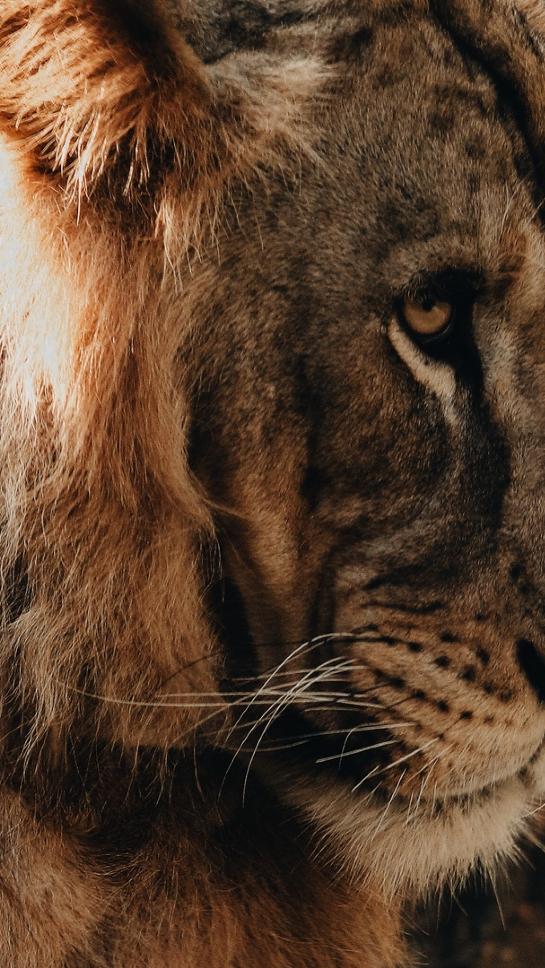 Lion Hd Wallpaper Iphone 6 , HD Wallpaper & Backgrounds