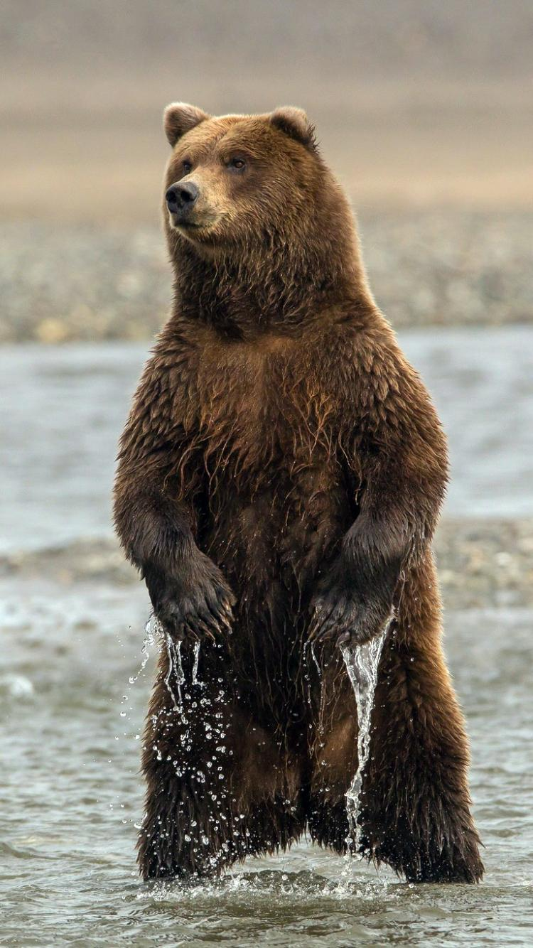 Animal/bear Wallpaper Id - Brown Bear , HD Wallpaper & Backgrounds