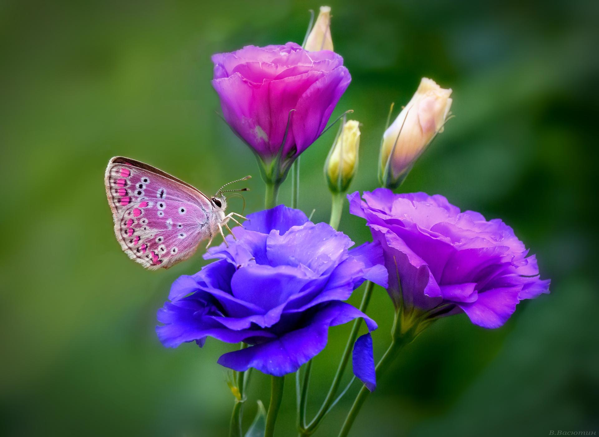 Animal Butterfly Flower Macro Blue Flower Purple Flower - Butterfly Hd , HD Wallpaper & Backgrounds