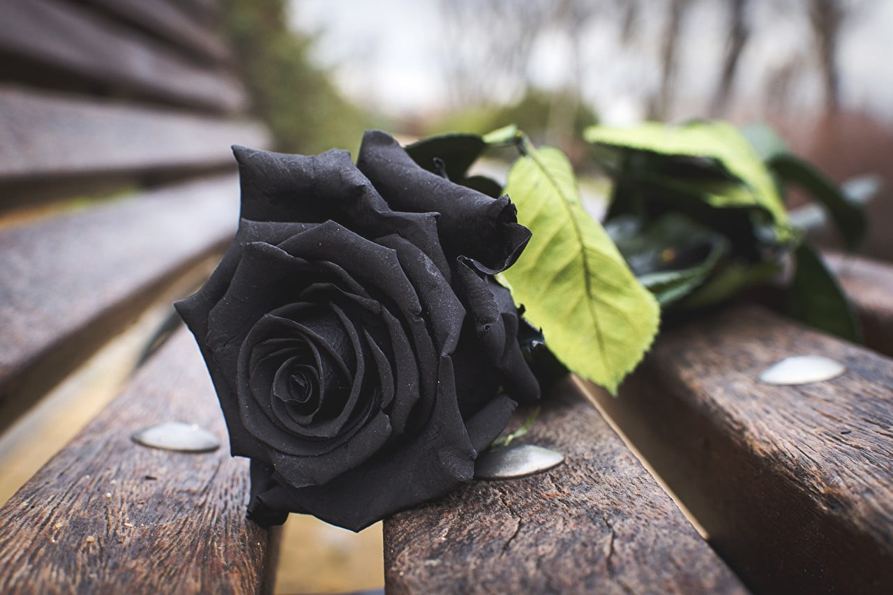 Flower Nature Black Rose 2894016 Hd Wallpaper Backgrounds Download
