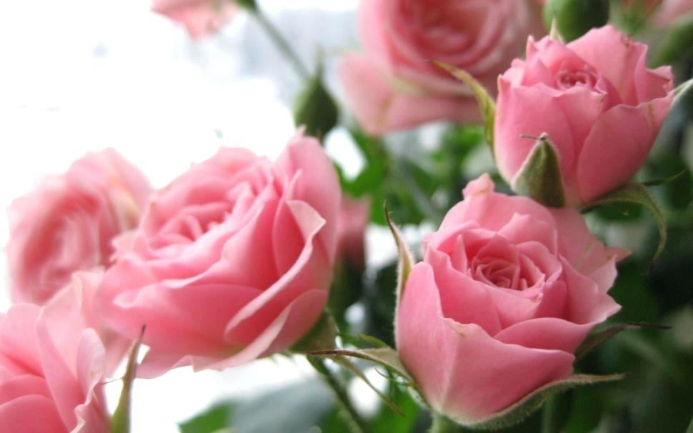 Hd Nature Love Wallpaper Download For Android Beauty - Soft Pink Roses Hd , HD Wallpaper & Backgrounds