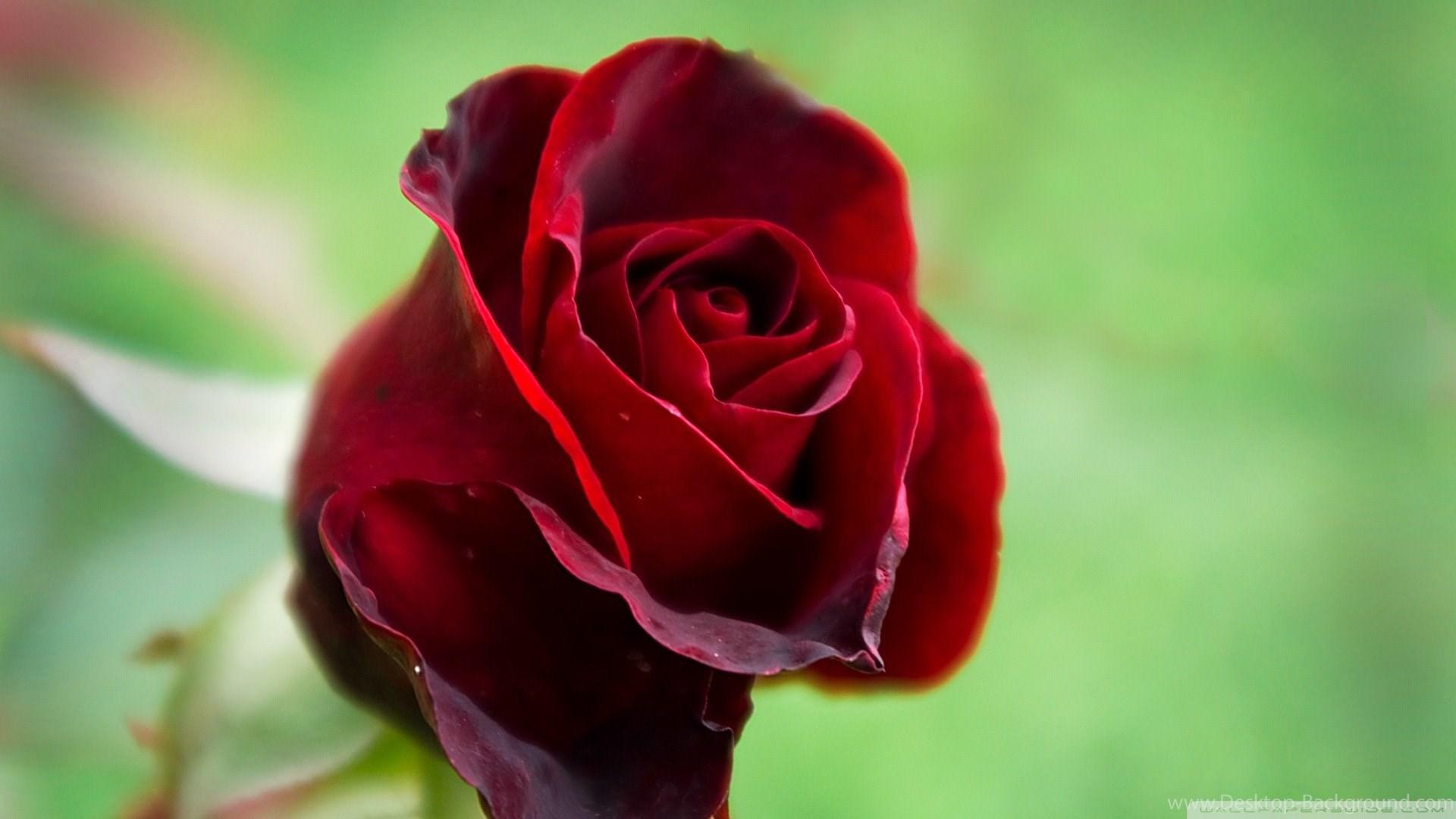 Popular - Beautiful Red Rose Flower , HD Wallpaper & Backgrounds