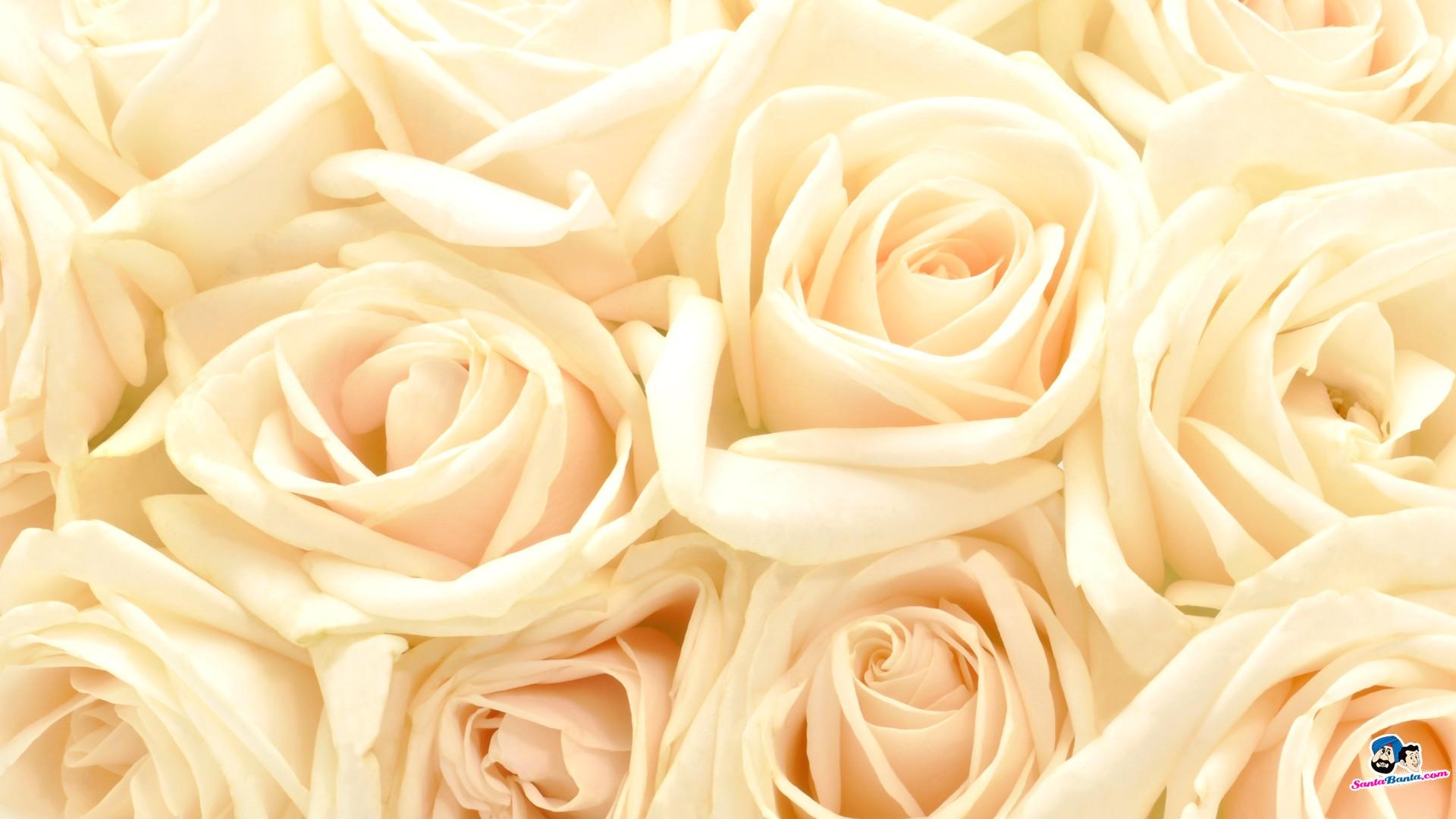 Roses Fond D Cran Tumblr Avec Roses Wallpaper Tumblr4 - White Roses Wallpaper Hd , HD Wallpaper & Backgrounds