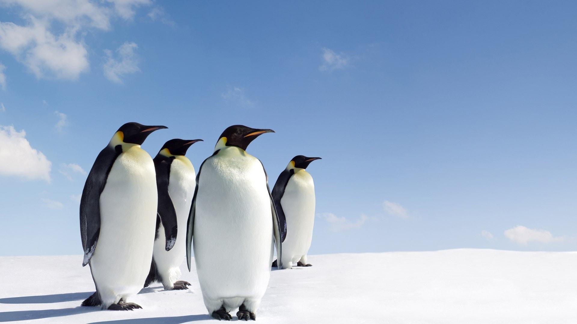Penguin Wallpapers - Penguin Wallpaper Hd , HD Wallpaper & Backgrounds
