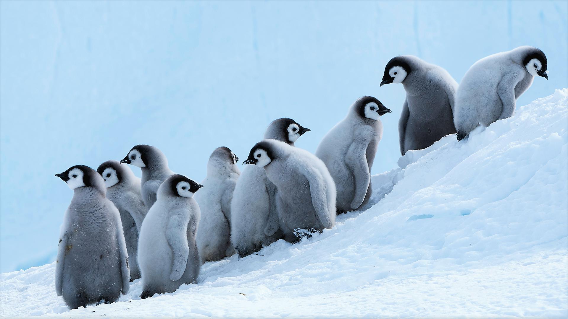 Adorable Baby Penguins In Snow Wallpaper - Cute Emperor Penguin Chicks , HD Wallpaper & Backgrounds