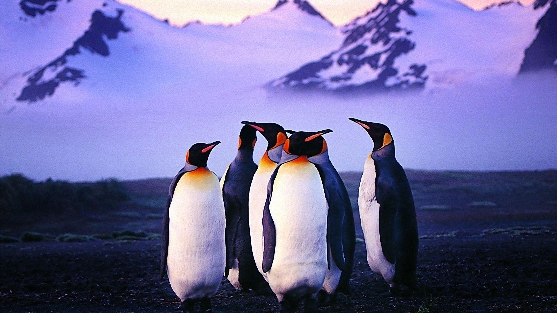 Penguin Wallpaper Wallpaperspenguin Wallpapers - High Resolution Penguin Hd , HD Wallpaper & Backgrounds