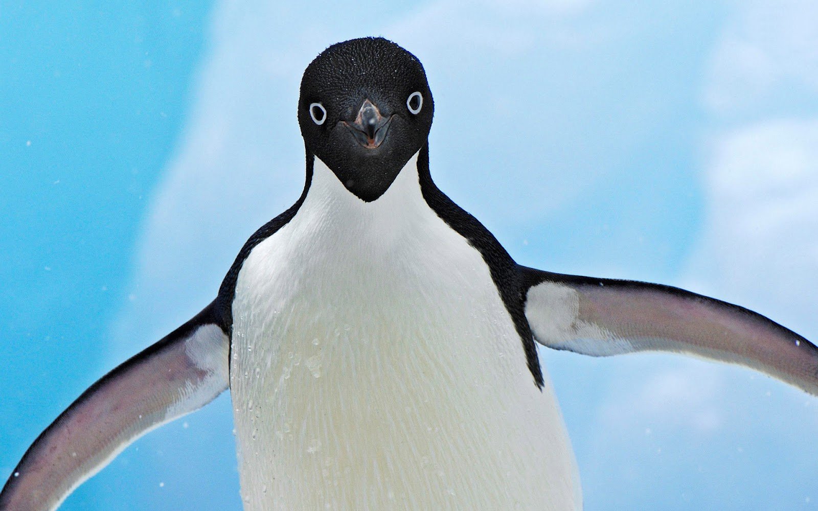 Penguin Looking Into Camera , HD Wallpaper & Backgrounds