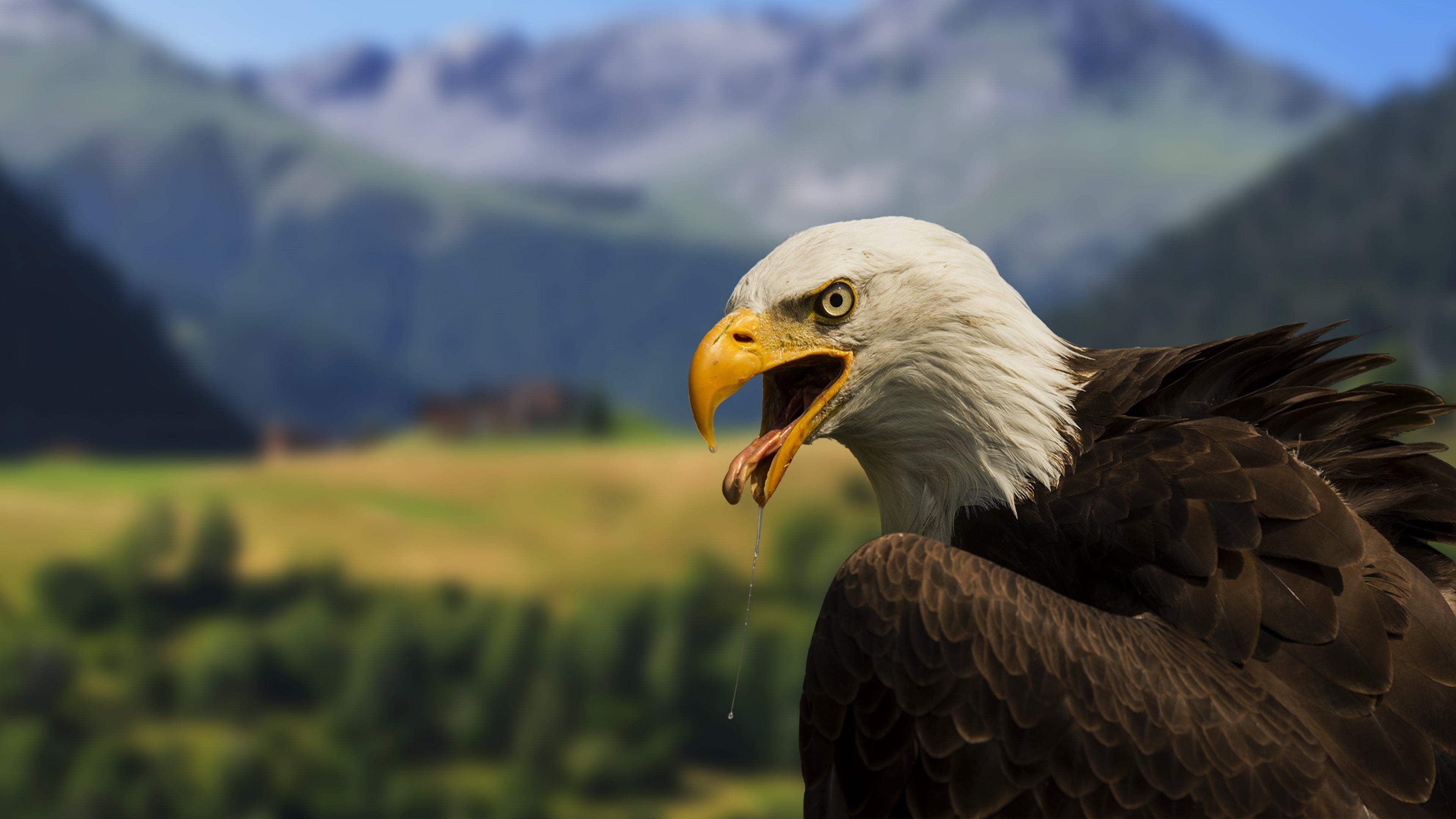 Bald Eagle 4k Wallpaper Full 1080p Ultra Hd Wallpapers - 1080p Full Hd 4k , HD Wallpaper & Backgrounds