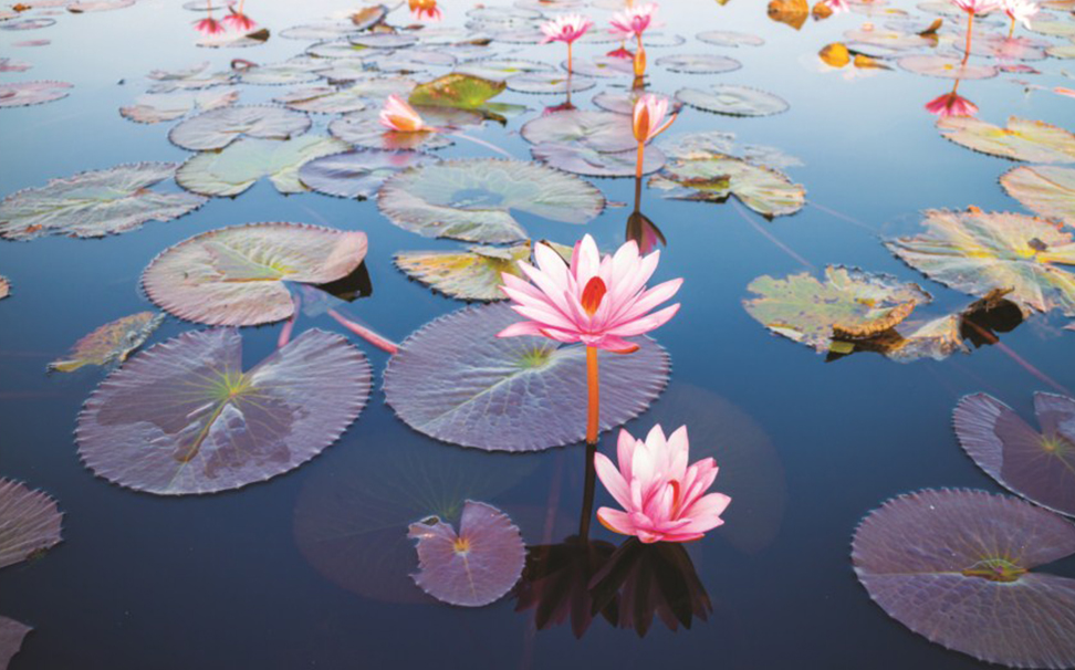 Lotus, The National Flower Of India Symbolizes Purity - Beautiful Lotus , HD Wallpaper & Backgrounds