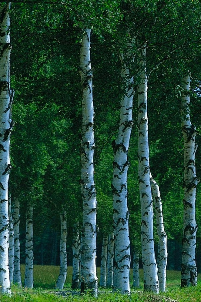 Birch Tree Facebook Cover , HD Wallpaper & Backgrounds