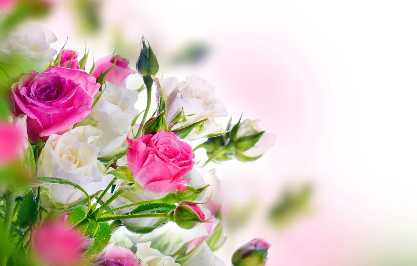 Photo Wallpaper Roses, White, Buds, Pink, Blossom, - Beautiful Rose White Flowers , HD Wallpaper & Backgrounds