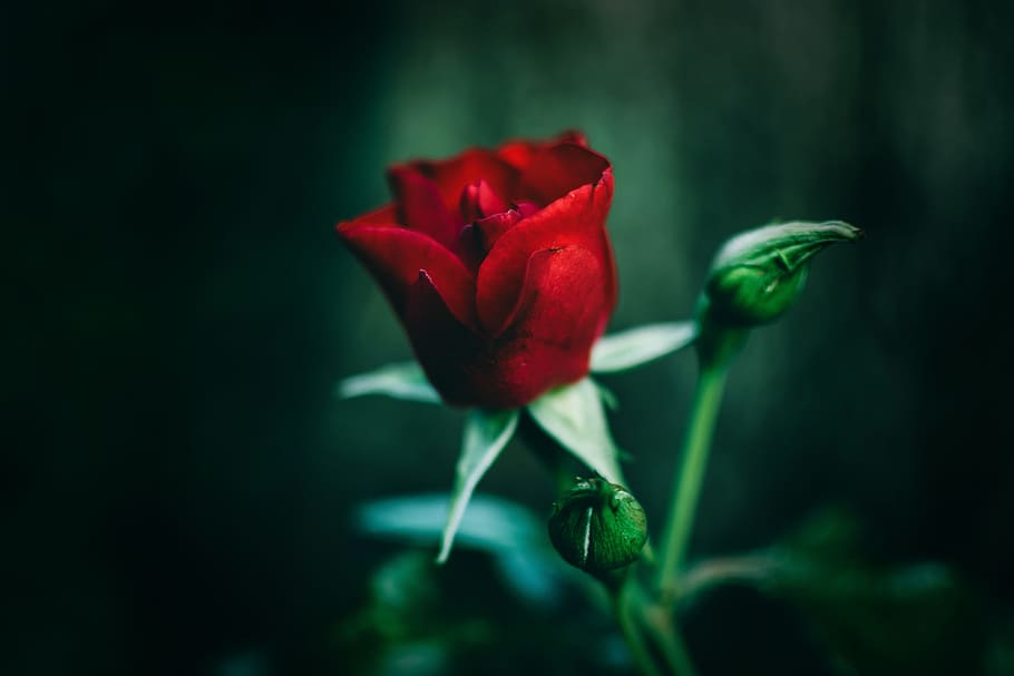 Single, Red, Rose, Red Rose, Flower, Romantic, Love, - Photography Close Up Nature , HD Wallpaper & Backgrounds