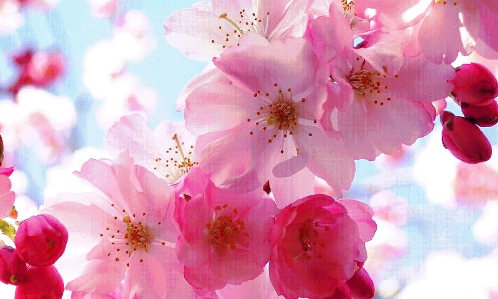 Pink Cherry Blossom Flower , HD Wallpaper & Backgrounds