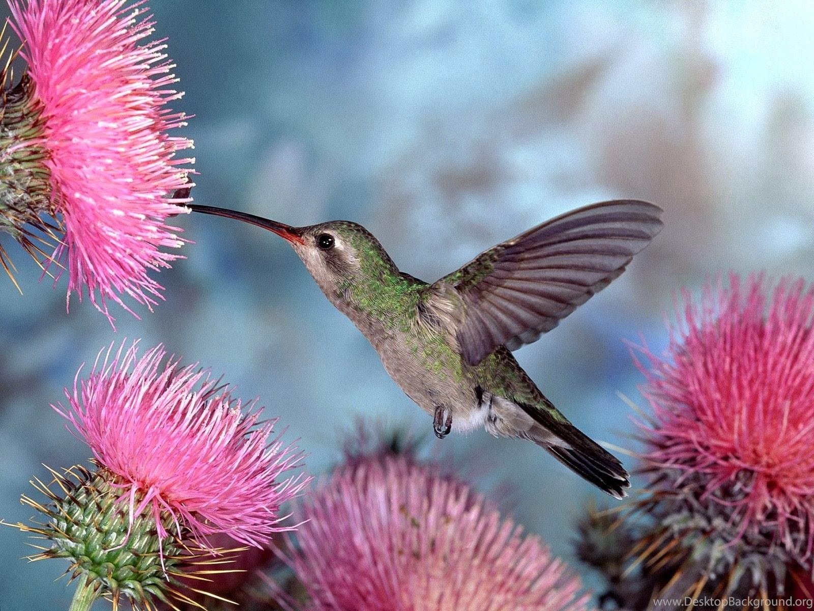 Beautiful Hd Wallpapers - Hummingbird Desktop Background , HD Wallpaper & Backgrounds