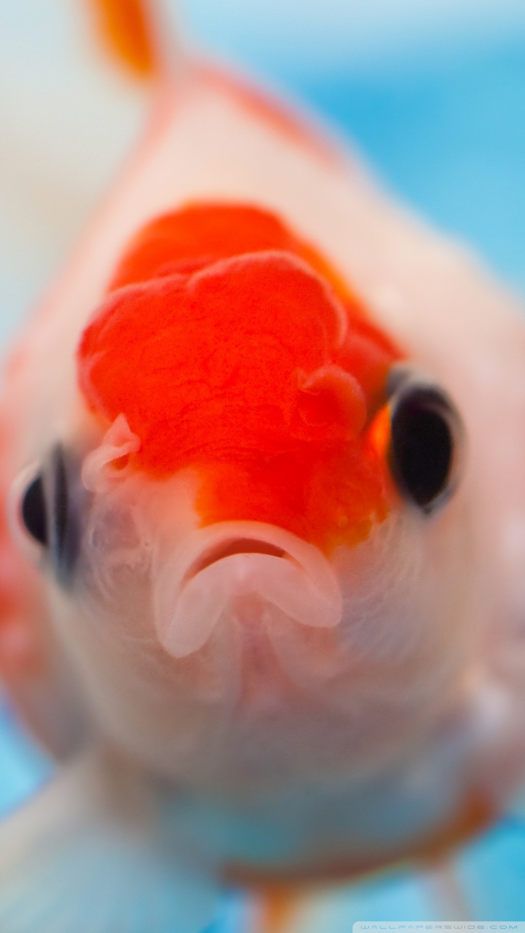Gold Fish Up Close Face , HD Wallpaper & Backgrounds