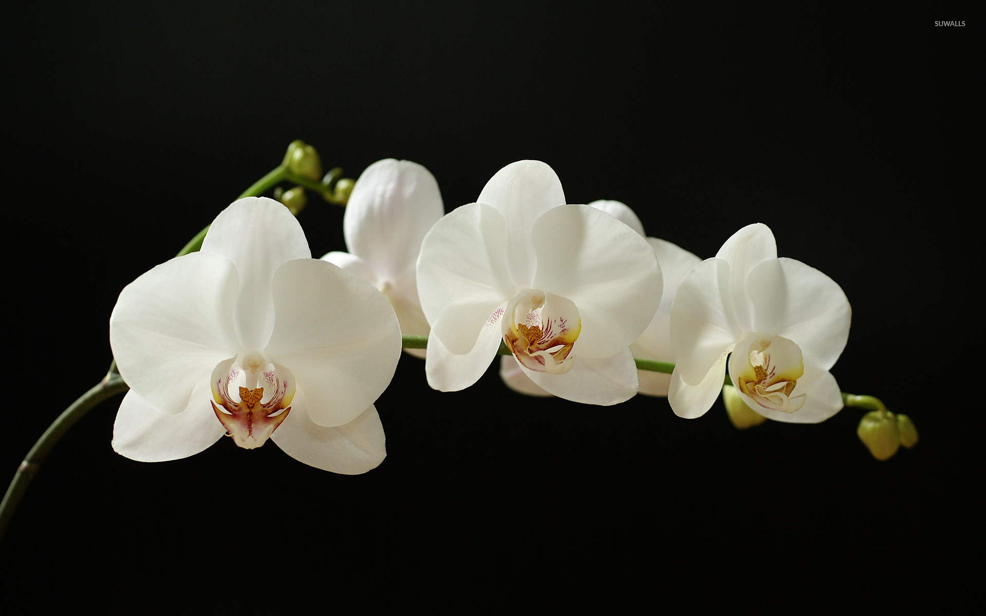 White Orchid , HD Wallpaper & Backgrounds