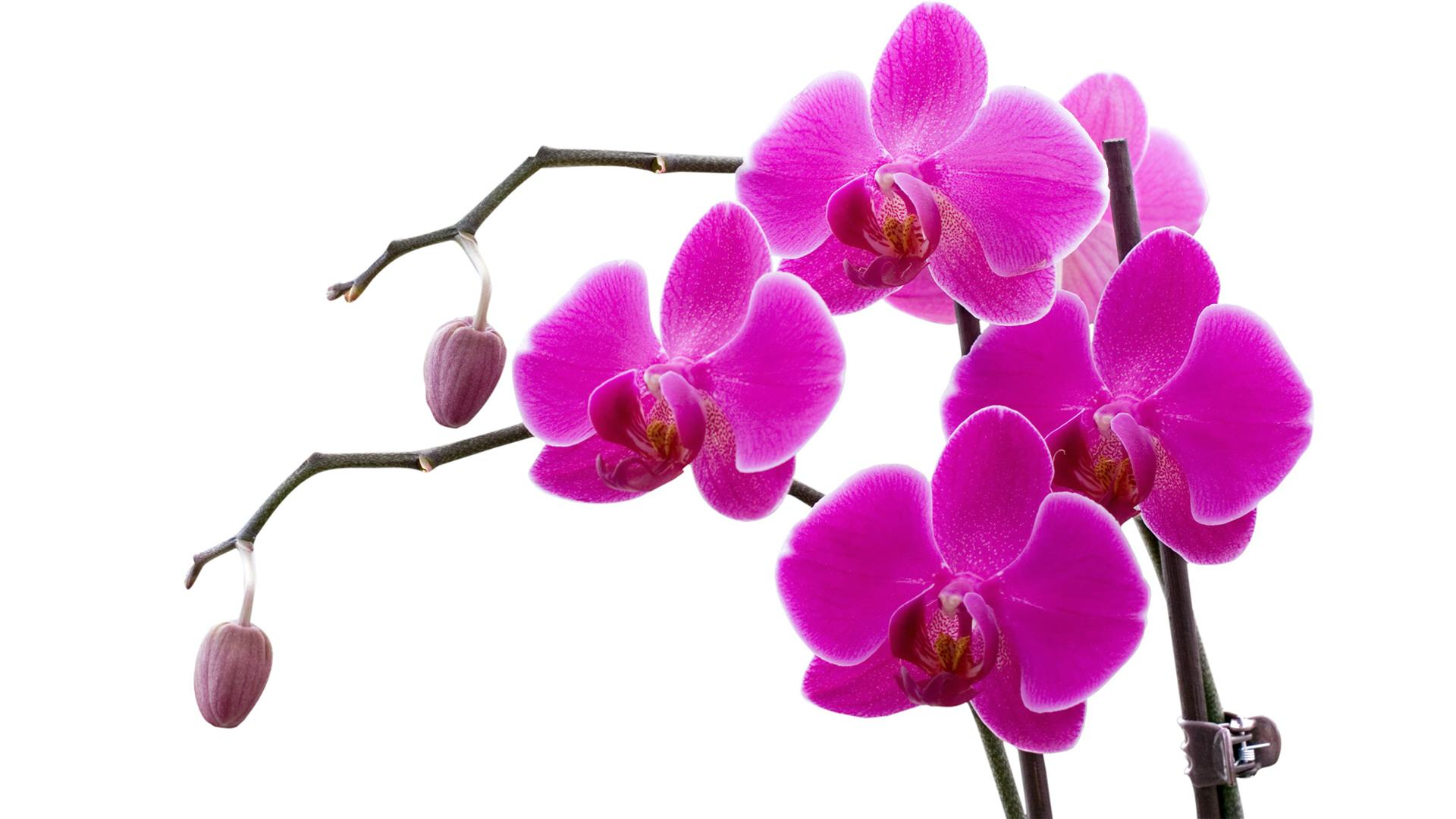 Purple Orchid Vector Png , HD Wallpaper & Backgrounds