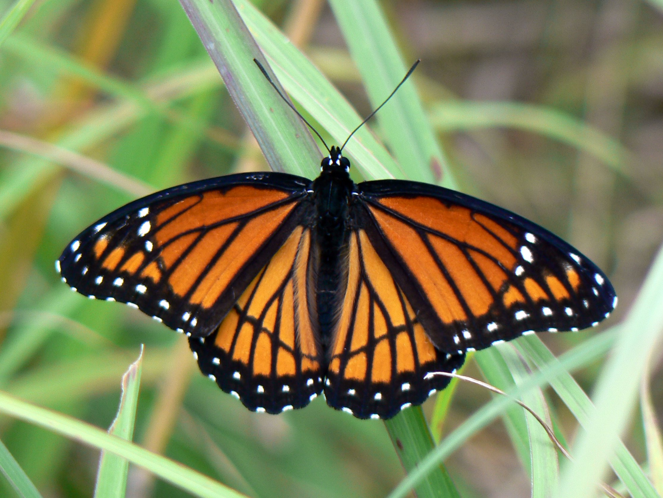 Pictures Of Butterflys Orange And Black Monarch Butterfly 3028903 Hd Wallpaper Backgrounds Download