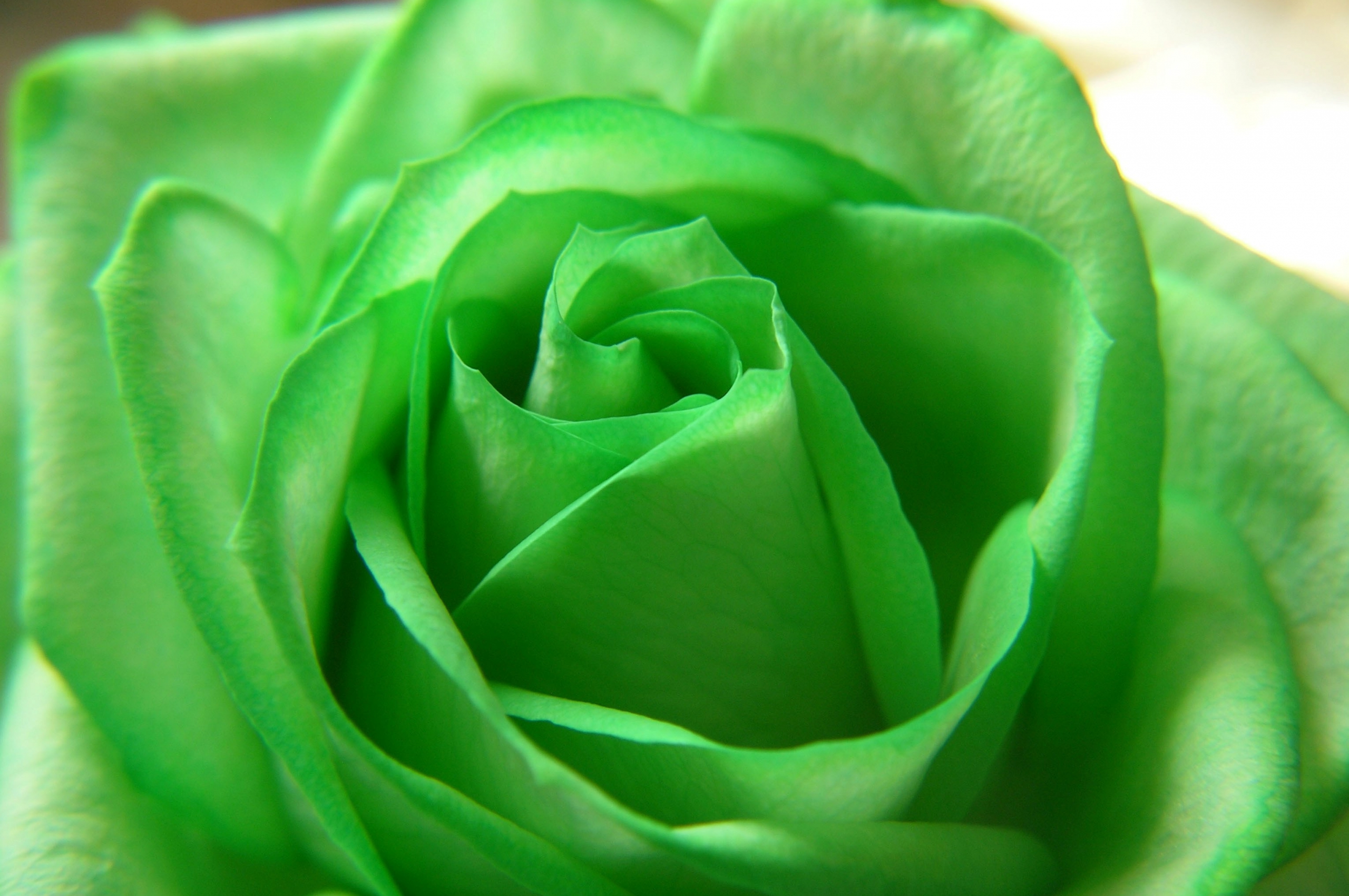 Rose Green Flower Beautiful Nature Wallpapers Rose - Rose Full Hd Wallpapers Flower For Desktop , HD Wallpaper & Backgrounds