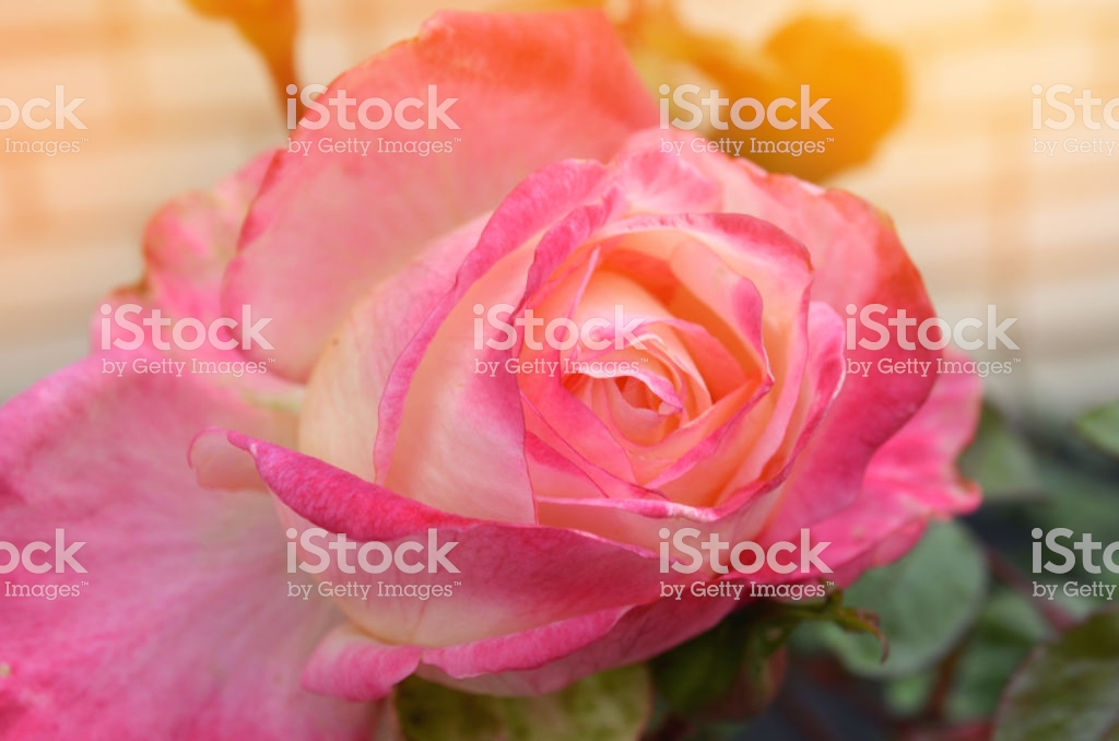 Beautiful Pink Rose In The Garden, Nature Wallpaper - Stock Photography , HD Wallpaper & Backgrounds