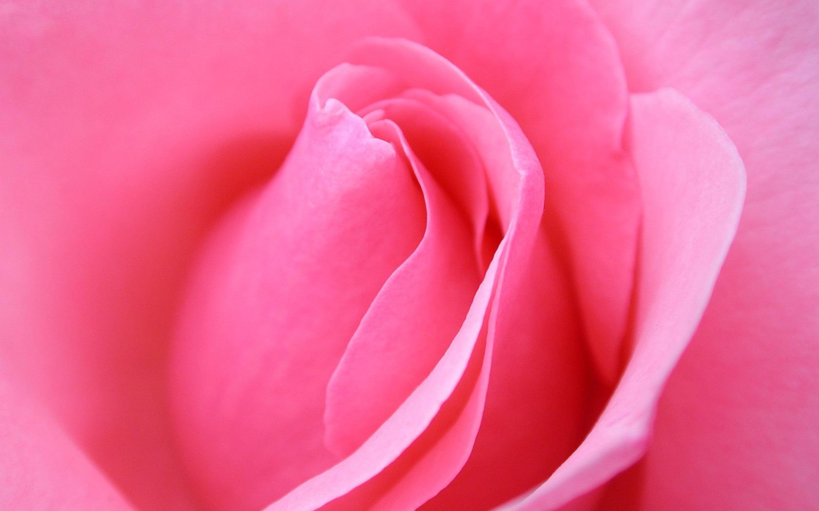 Pink Wallpaper Rose Flowers , HD Wallpaper & Backgrounds