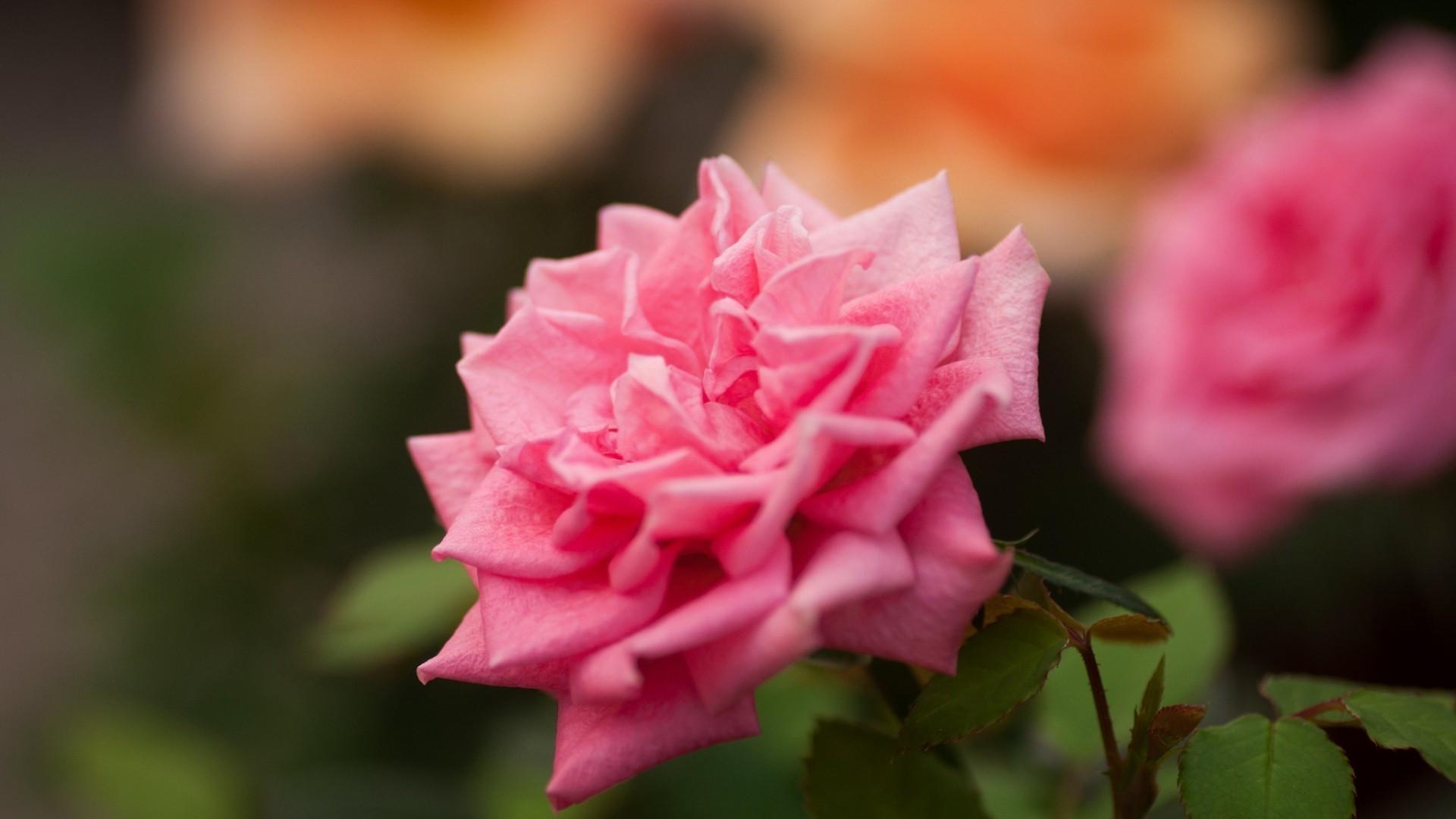 Rose Pink Roses Flowers Nature Wallpaper Jpg 223 Kb - Pink Rose Flower , HD Wallpaper & Backgrounds