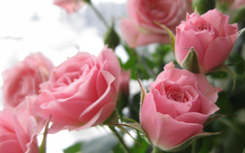 Beauty Nature Wallpaper,delicate Hd Wallpaper,roses - Pink Rose Laetare Sunday , HD Wallpaper & Backgrounds