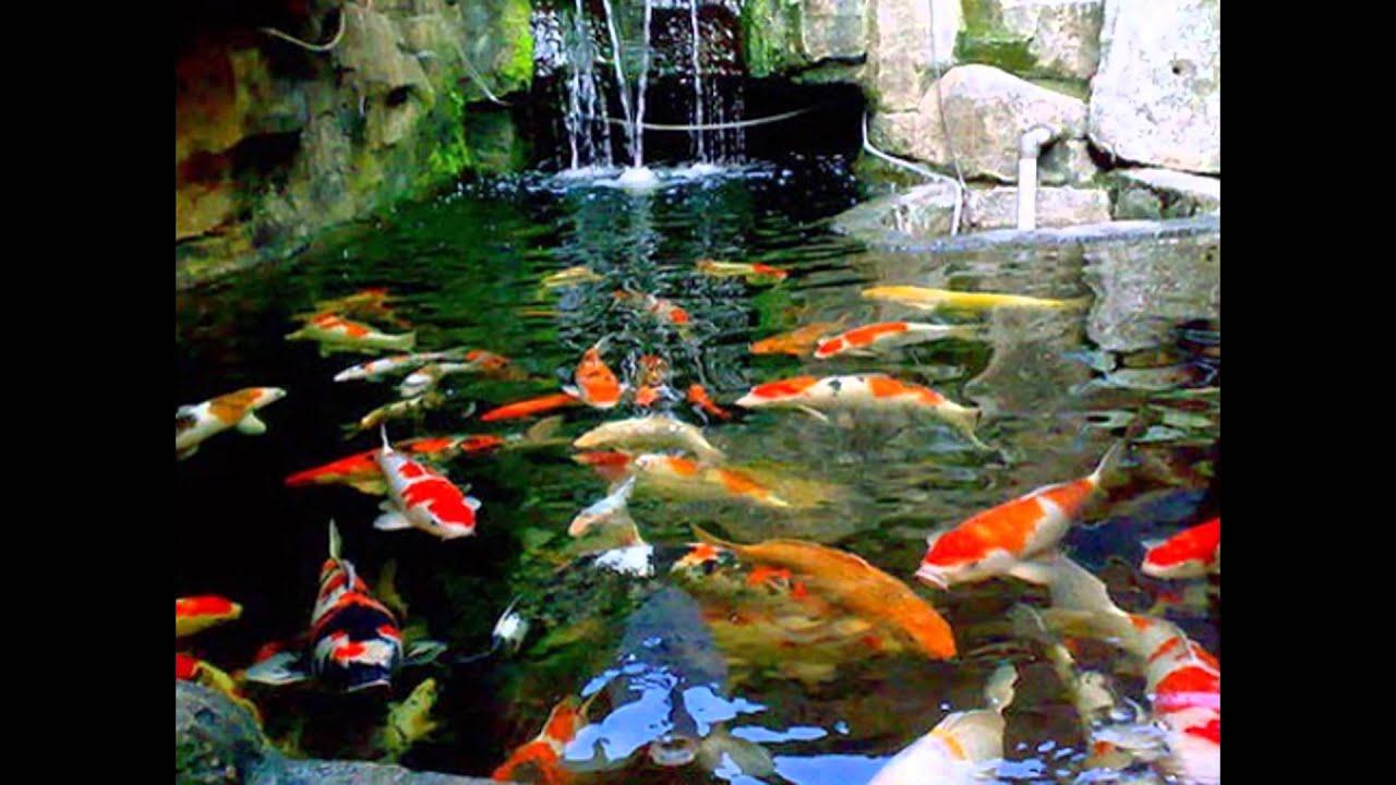 Aquarium Ikan Koi , HD Wallpaper & Backgrounds