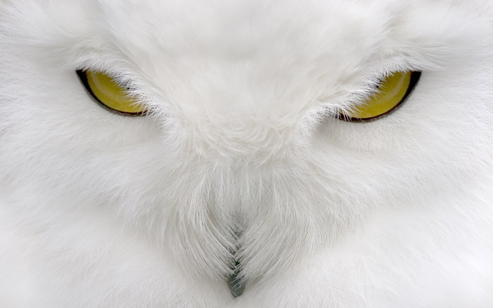 Free Download Snowy Owl Wallpaper Id White Owl High