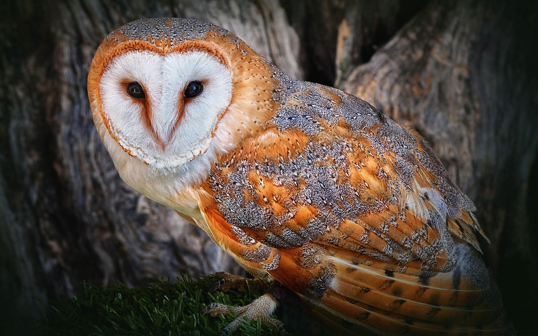 Barn Owl Wallpaper Pc Owls Hd 311117 Hd Wallpaper