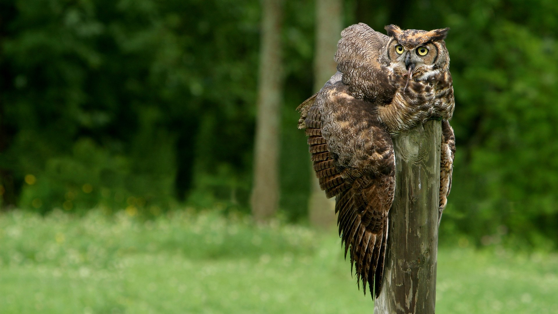 Great Horned Owl Hd Wallpaper Great Horned Owl Background