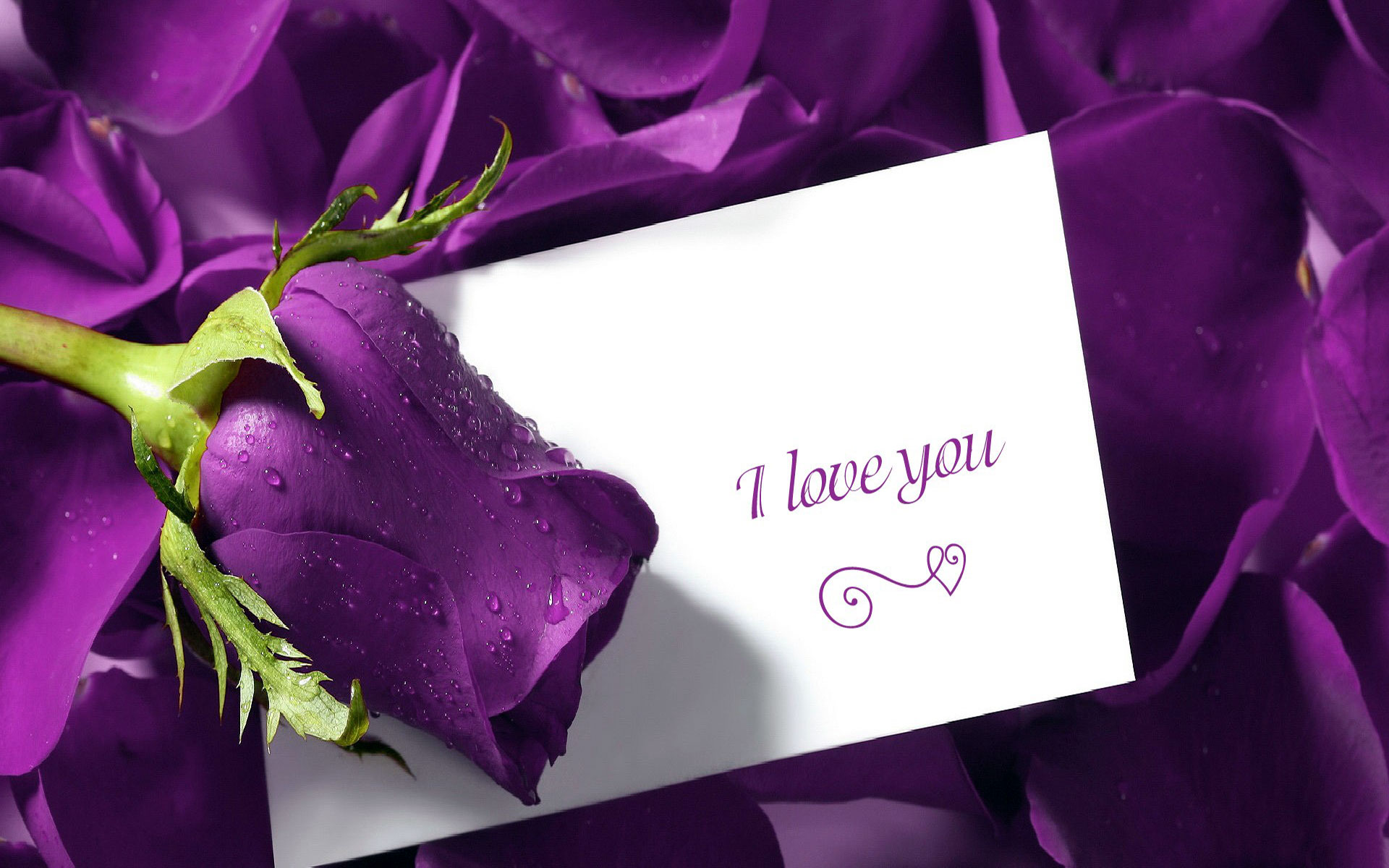 25 Free Hd I Love You Wallpapers Cute I Love You Images - Purple Rose Of Love , HD Wallpaper & Backgrounds