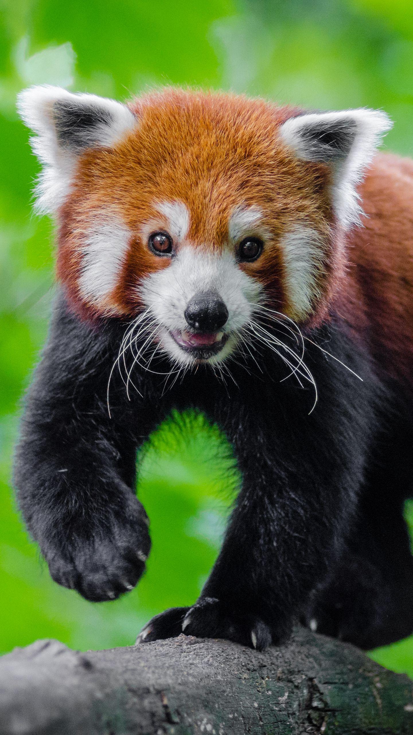 Red Panda Wallpaper Desktop Full Cute Red Panda Background