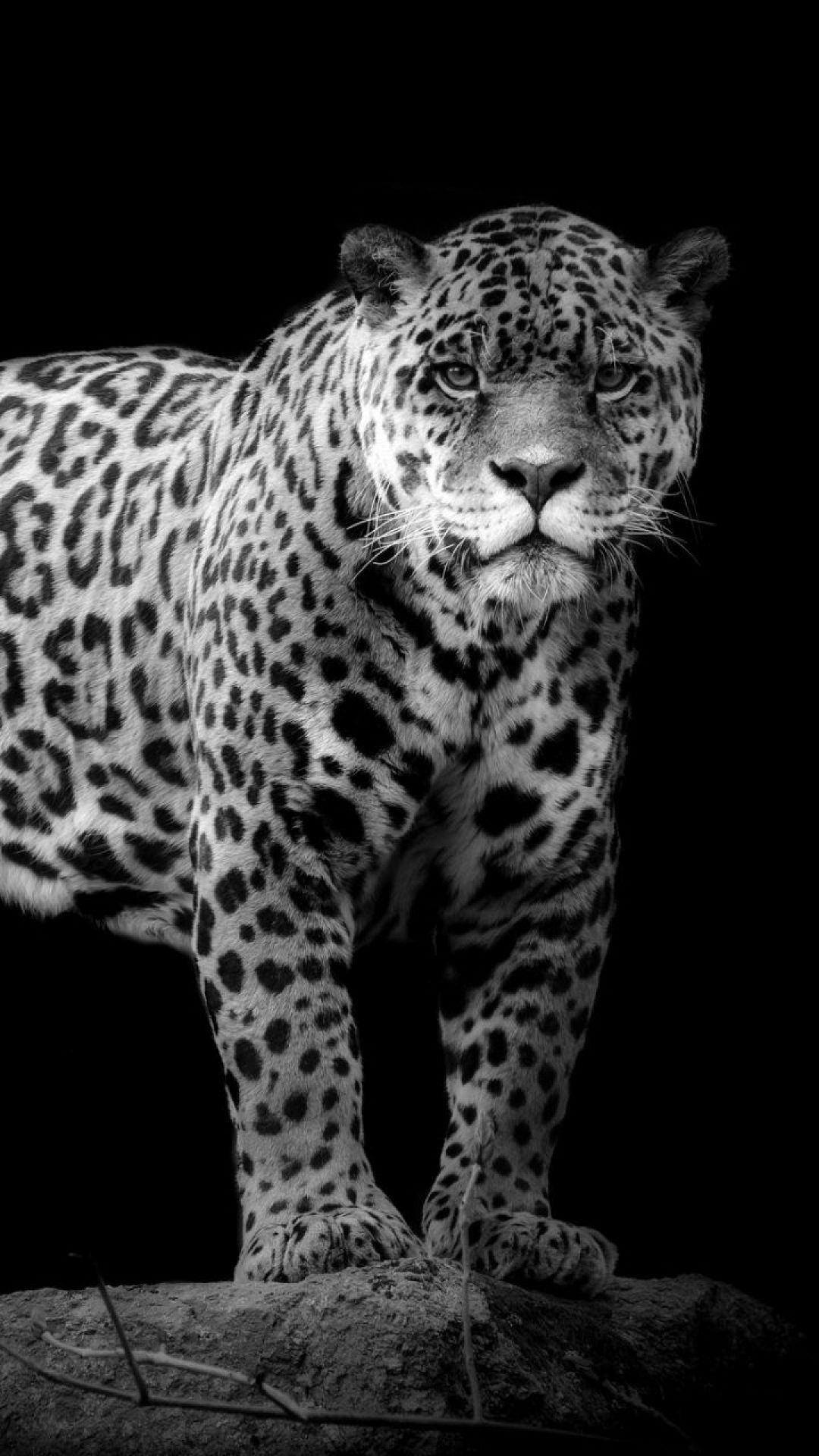 Android Iphone Desktop Hd Backgrounds Wallpapers Jaguar Wallpaper For Mobile 3118768 Hd Wallpaper Backgrounds Download