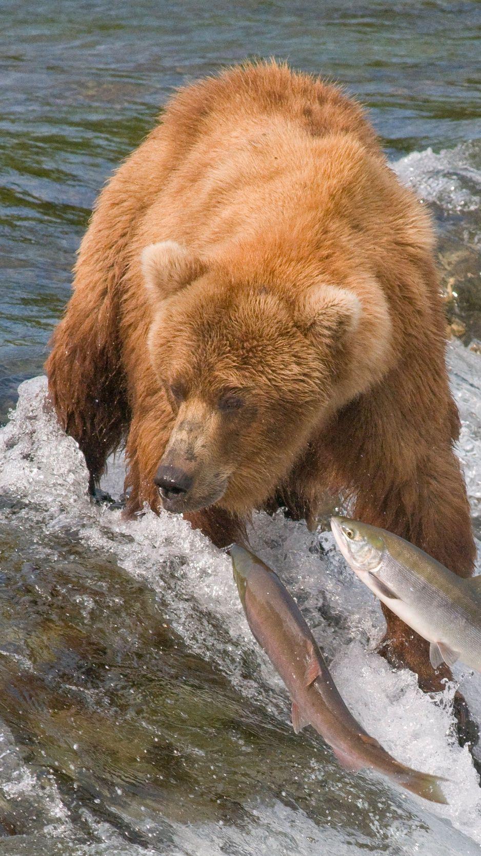 Wallpaper Fishing, Bear, Water, River, Fish - Bears Fishing , HD Wallpaper & Backgrounds