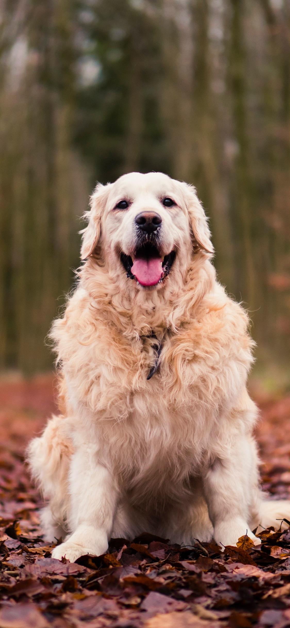 Golden Retriever Dog Wallpaper For Laptop 3129413 Hd Wallpaper Backgrounds Download