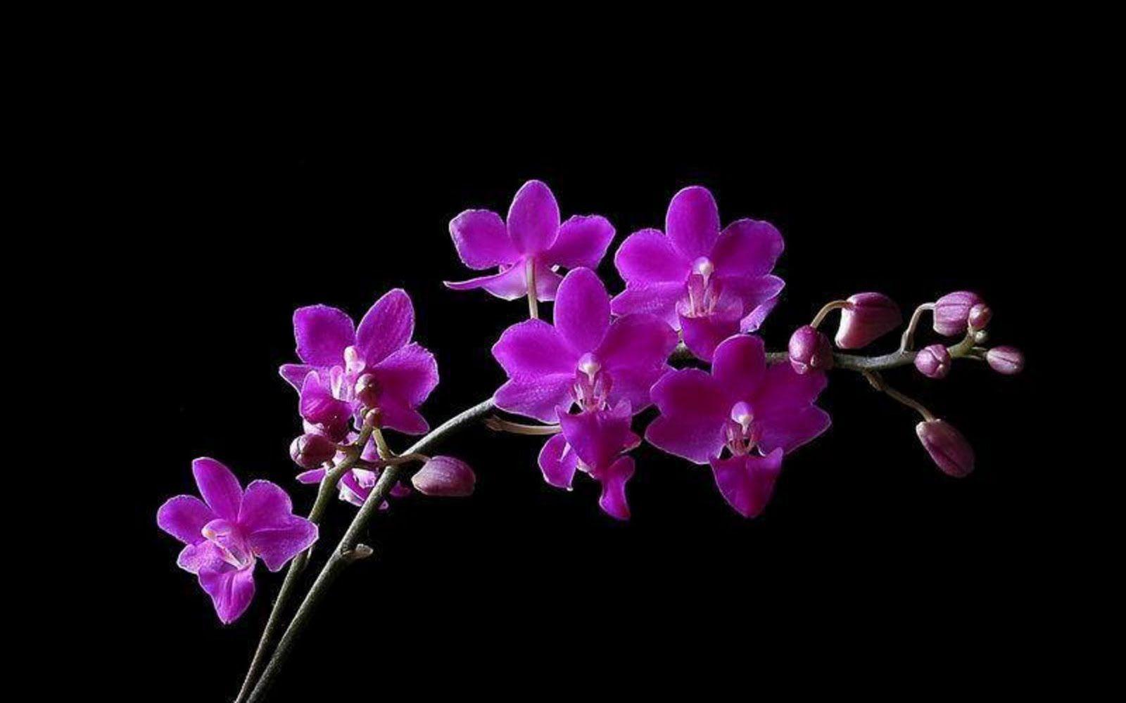 Beautiful Orchid Flower Hd , HD Wallpaper & Backgrounds
