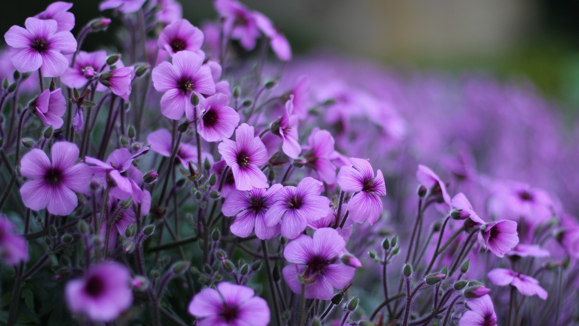 Home Flowers Most Beautiful Purple Flowers For Desktop - Desktop Most Beautiful Flowers , HD Wallpaper & Backgrounds