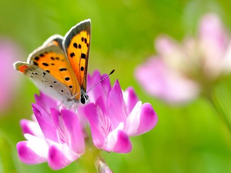Monarch Butterfly On A Flower Wallpaper - Summer Nature Animals , HD Wallpaper & Backgrounds