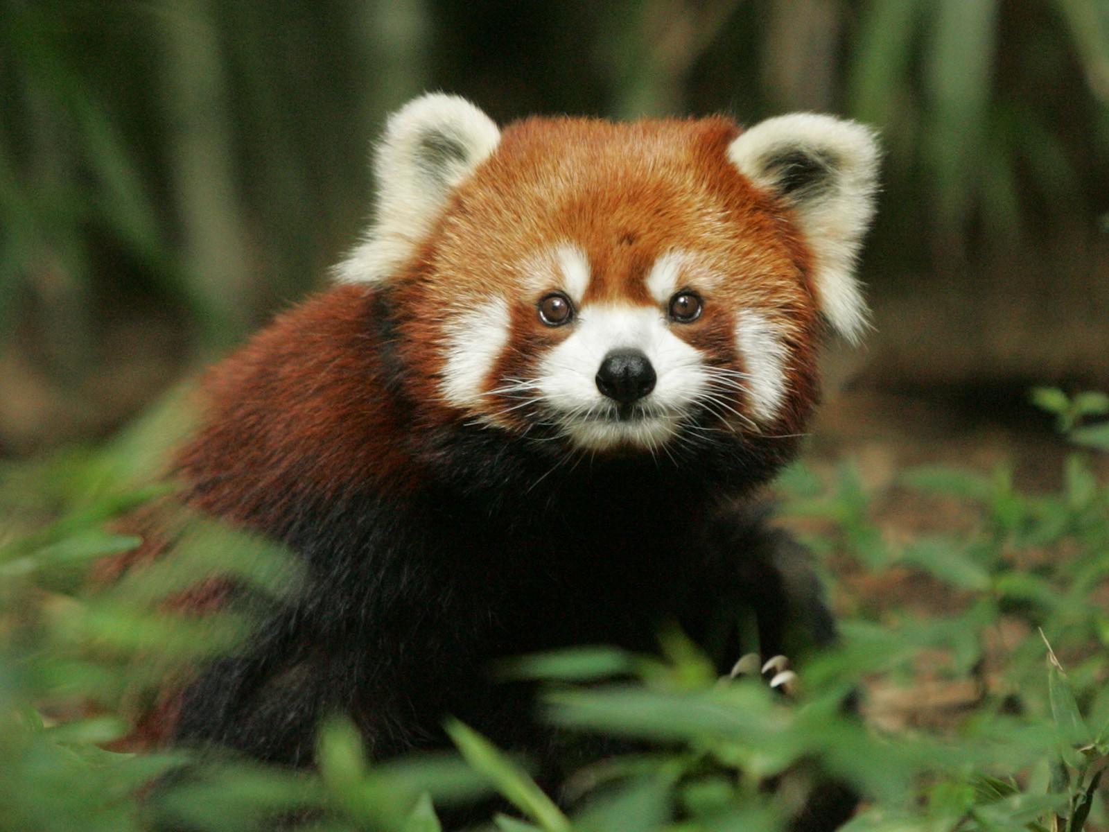 Red Panda Wallpaper Desktop Background Red Panda 320068