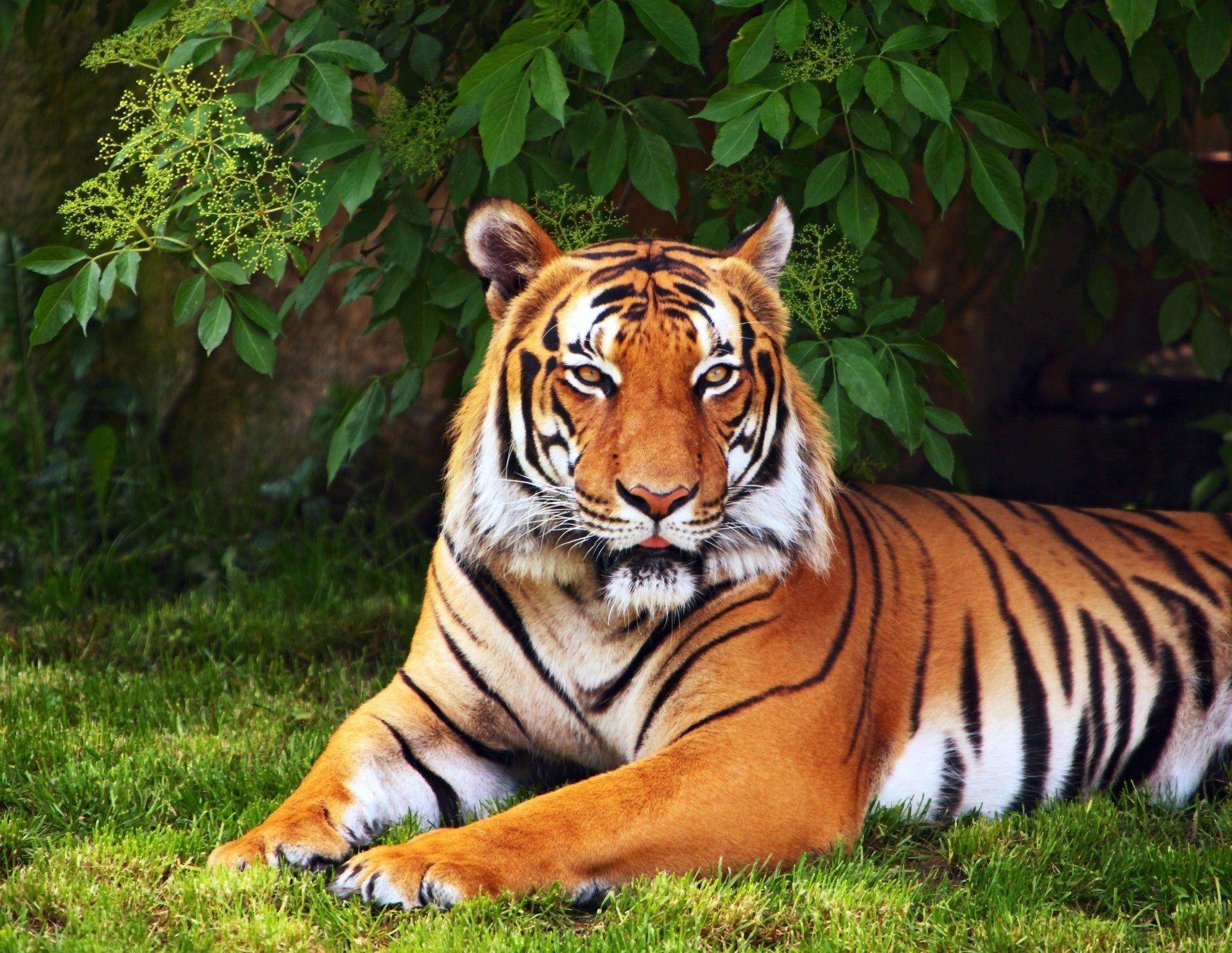 Animals Tiger Tree Leaves Grass Green Wallpaper Widescreen - Beautiful Animal Wallpapers Hd , HD Wallpaper & Backgrounds